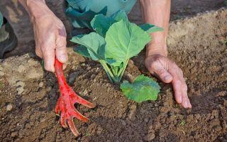 Выращивание капусты и защита от щитовок